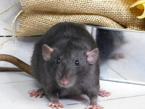 One Baby Rat