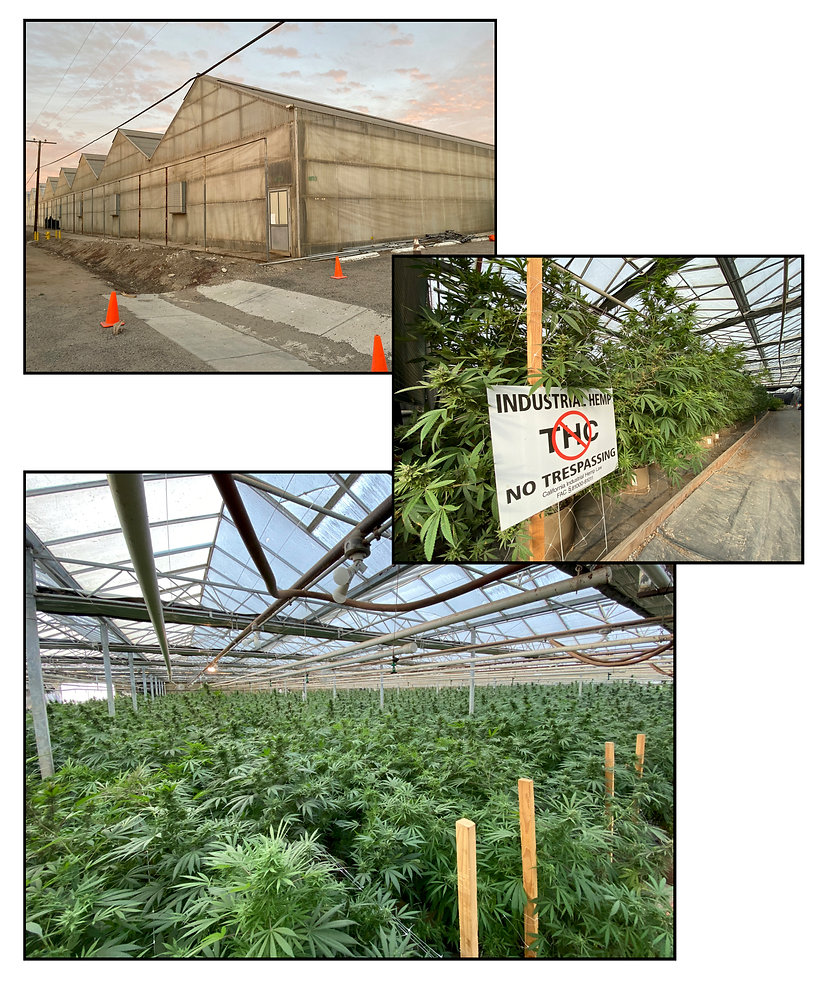 Industrial hemp production field trials at Global Hemp Collective's Southern California locatio.