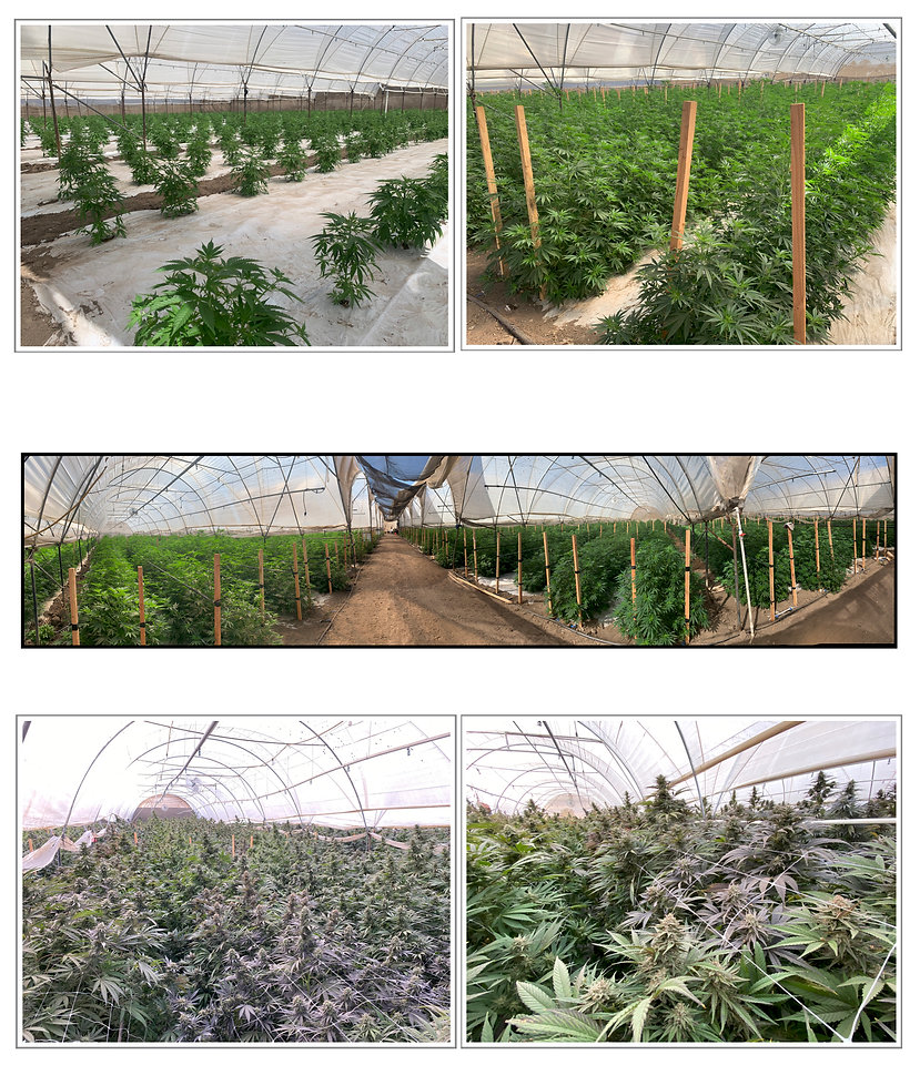 Greenhouse field trials at Global Hemp Collective's Southern California location.