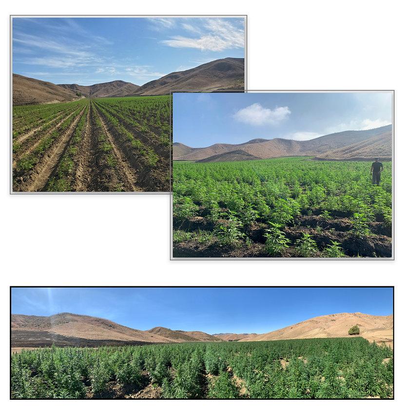 The sunny open fields of hemp in Global Hemp Collective's Soutern California field trials.