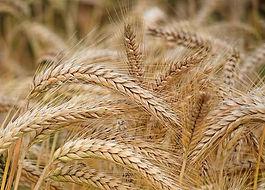 Grain_stokerijvds.jpg