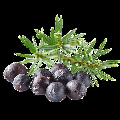 juniperus-communis.png