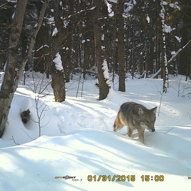 coyote on site