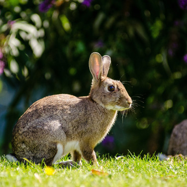 Hare (Bunny)