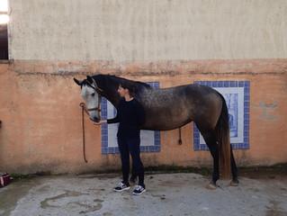 Mazurka, jeune jument de notre élevage, a trouvé sa nouvelle propriétaire!