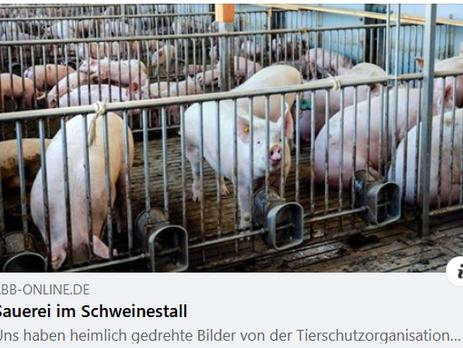 Schweine stehen in der Gülle -monatelang - Veterinäramt weiß davon