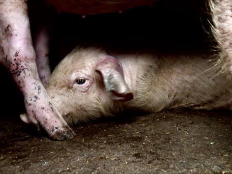 Der arme Bauer...vergesst die Schweine, schnell! Die Märchenstunde der Frau H