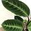 """Thumbnail: Calathea Velve Leaf 6"""""""