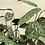 """Thumbnail: Calathea Setosa 6"""""""