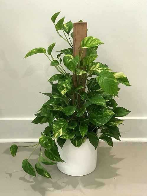 "Pothos Pole 3' tall, 8"" pot (white pot sold separately)"