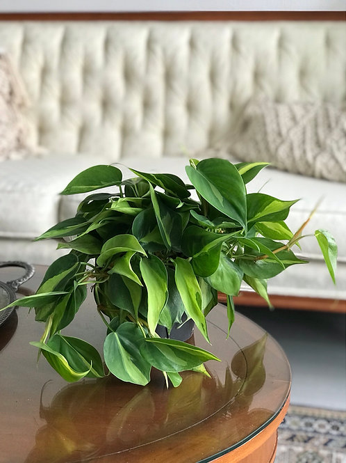 """Philodendron Brazil 6"""""""