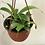 "Thumbnail: Monkey Cup Plant (carnivorous) 6"""