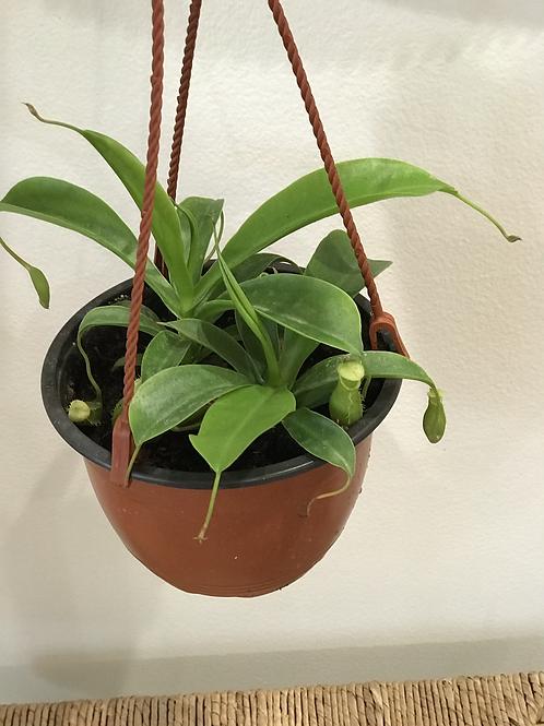 "Monkey Cup Plant (carnivorous) 6"""