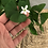 "Thumbnail: Clover Oxalis 4"""