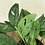 Thumbnail: Philodendron Splitleaf Adansonii 6""