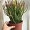"""Thumbnail: Firestick Plant 6"""""""