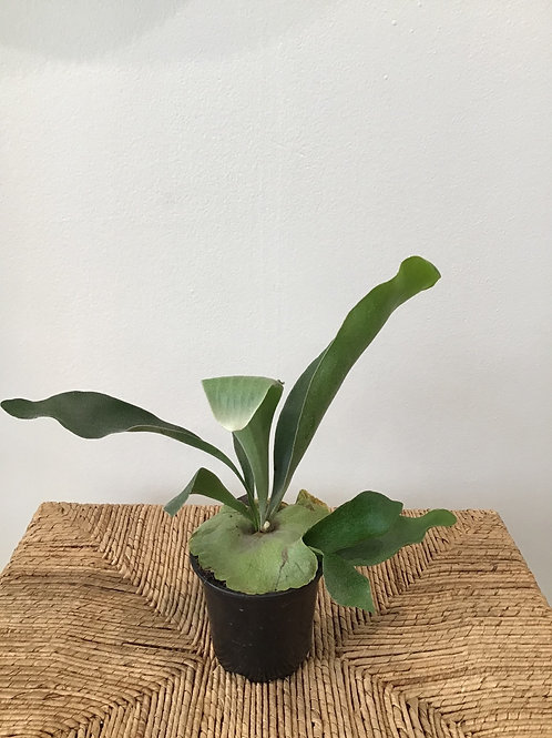 Staghorn Fern 4""