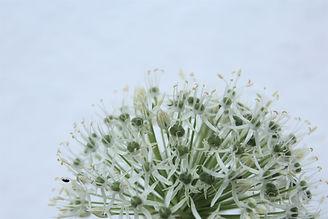 Allium.hvid.5.jpg