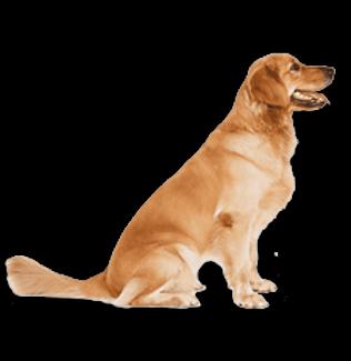 כלב בוגר.png