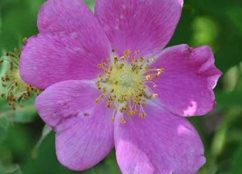 Wild Rose Country.
