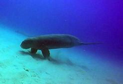 dugong odyssea dive vilanculos mozambique