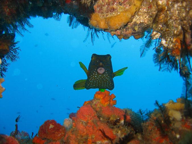 odyssea dive vilanculos mozambique boxfish