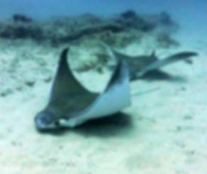 devil rays odyssea dive vilanculos mozambique
