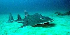 guitarfish odyssea dive vilanculos mozambique