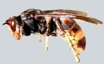 Predatory Asian Hornet
