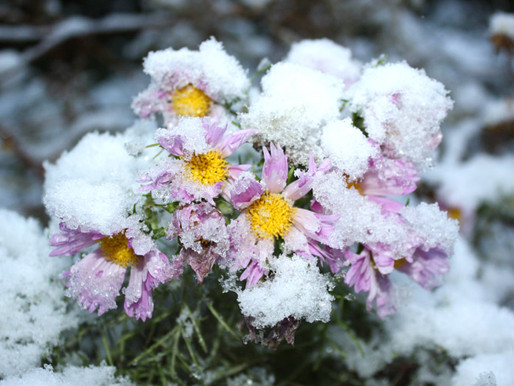 Wie eine Kosmee dem Winter stand hält...