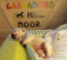 Labradorzucht Bayern HILL MOOR Labradors