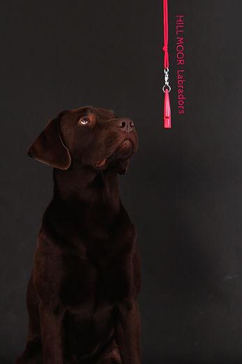 Labrador Welpe Bayern Pfeifentraining