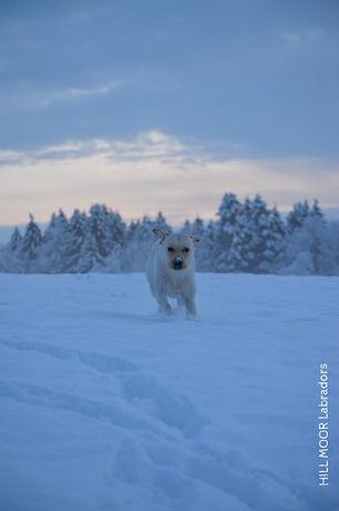 Labrador Welpen Gelb und Schwarz
