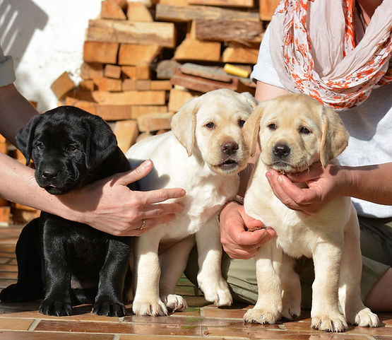 HILL MOOR Labradors Hundekinder