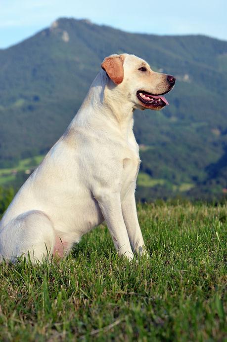 Labrador  Welpe Bayern Labradorhündin Tundra blond HILL MOOR Labradors