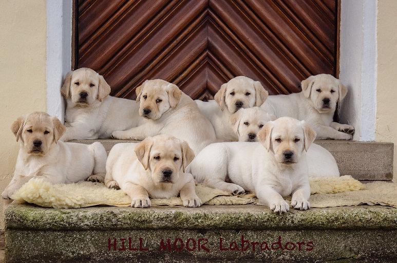 Labrador Welpe Bayern  Zuhause