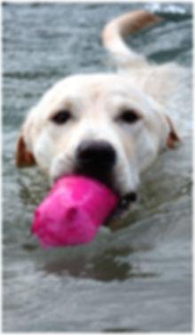Labrador Welpe Bayern Dummytraining Tundra die Wasserratte