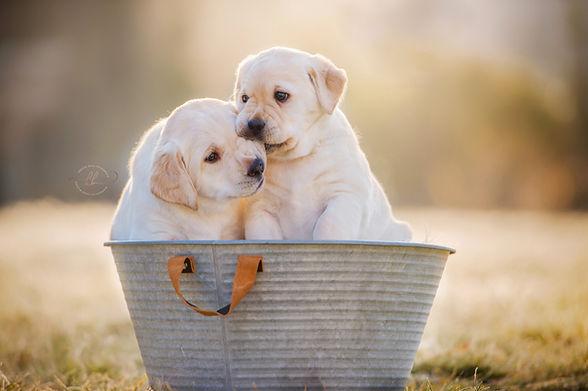Labradorzucht Bayern Welpen