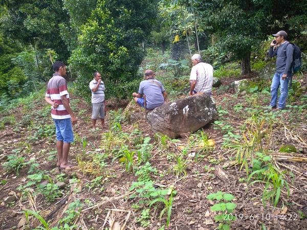 . Parcelle de plantation de Patchouli (Pogostemon cablin)