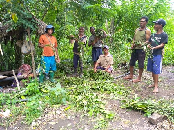 Distribution de boutures de Vanille (Vanilla planifolia)