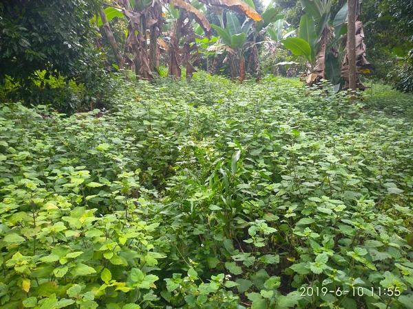 Parcelle de plantation de Patchouli