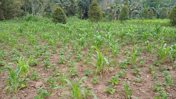 Parcelle de plantations Patchouli (Pogostemon cablin) et Maïs (Zea mays L.) Plantation de Santal (2)