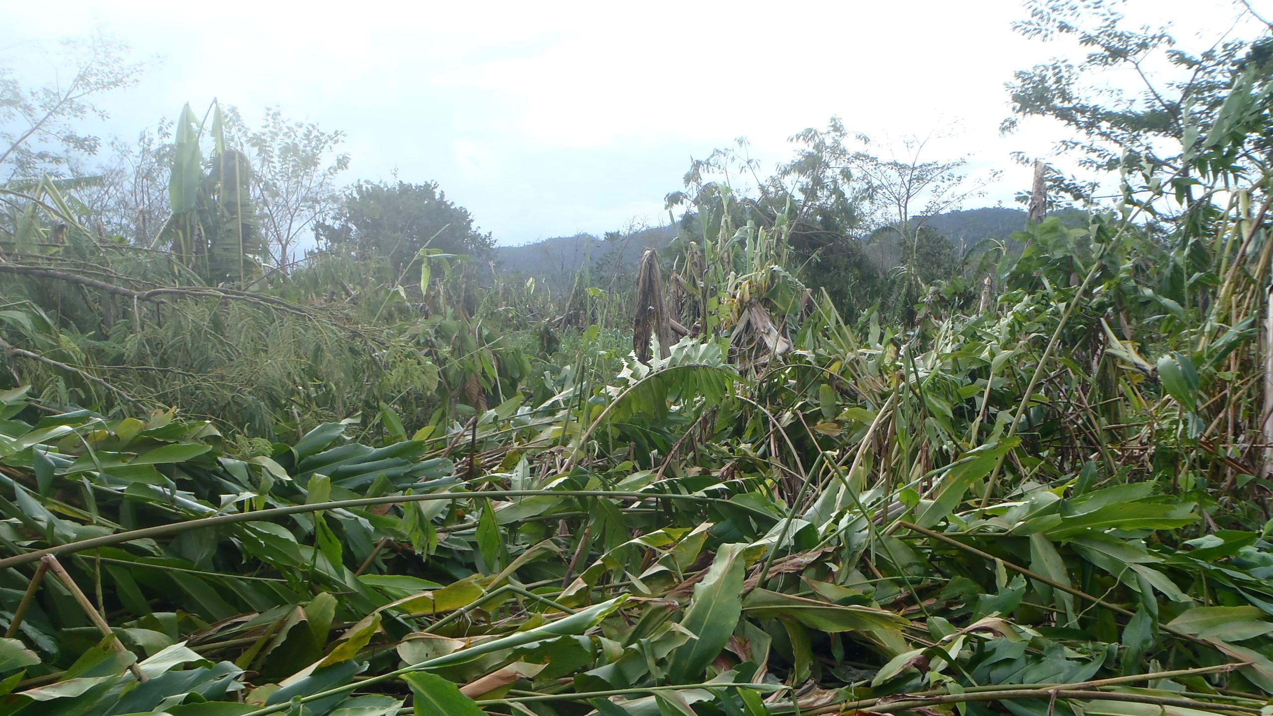 Plantation endommagée après cyclone