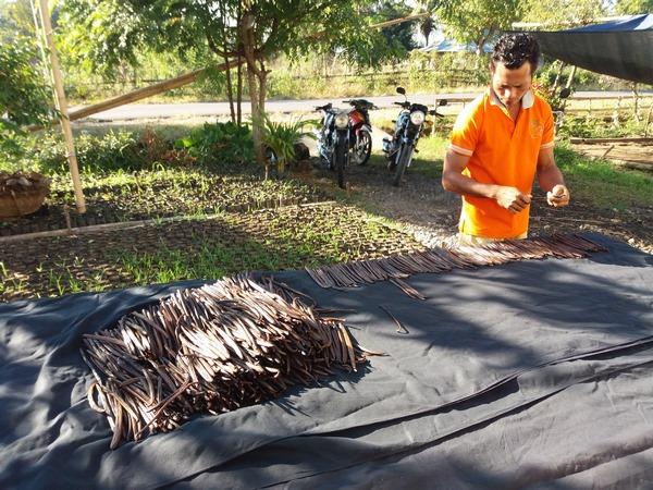 Vérification du séchage de la Vanille par le pépiniériste Aris WULI (2)