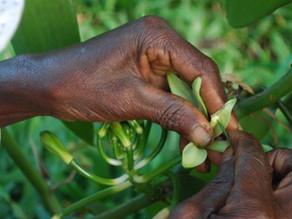 La Vanille de Madagascar : filière en péril