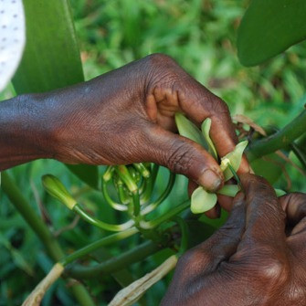 Fécondation manuelle de la fleur de vanille - Coeur de Forêt Madagascar