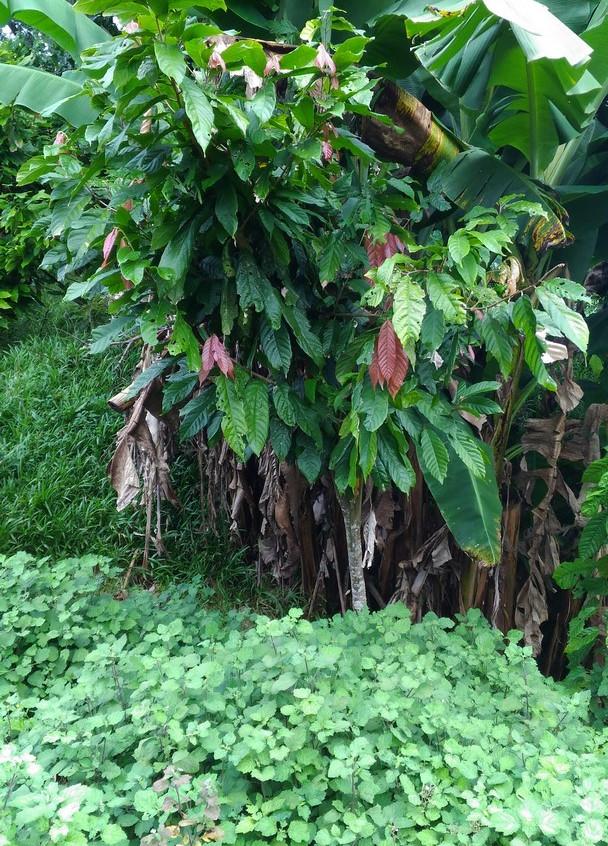 Cacao et Patchouli 2 (SitewebCDF)
