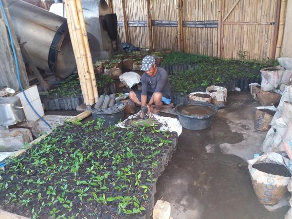 Jeunes plants de Girofle avant plantation