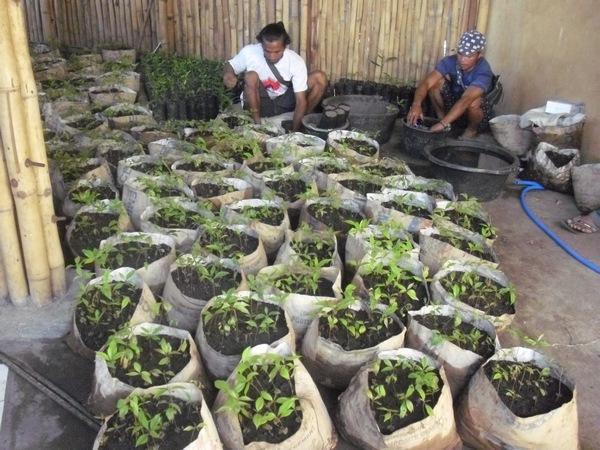 Plants de Giroflier avant distribution pour plantation