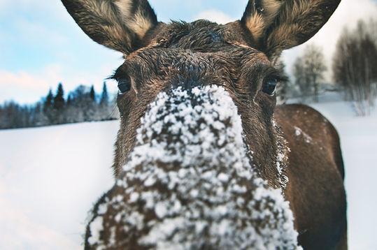pontus_charleville-a_curious_moose-4279.